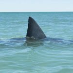 Sharks and Shark activity in and around Cool Bay