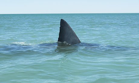 Shark fin sticking out of water